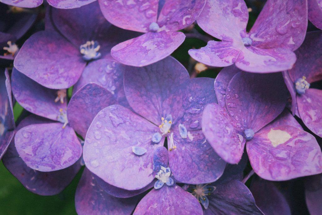 fleur hydrolat