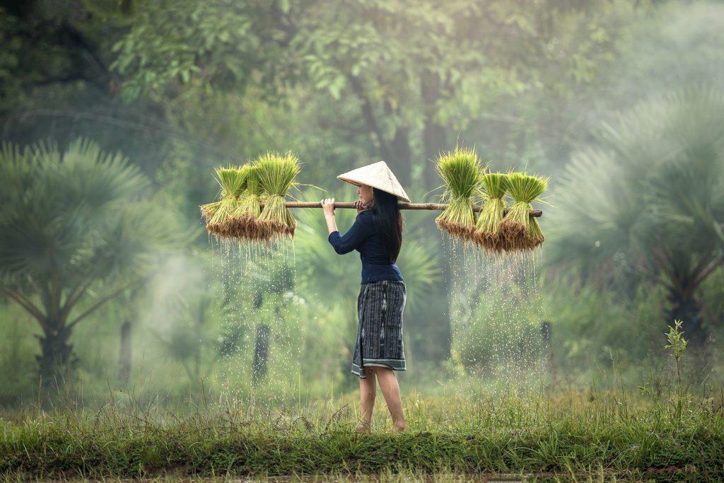 le riz en asie